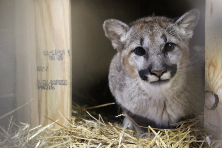 Beau is a cougar cub rescued from Washington where he would have likely been euthenized.