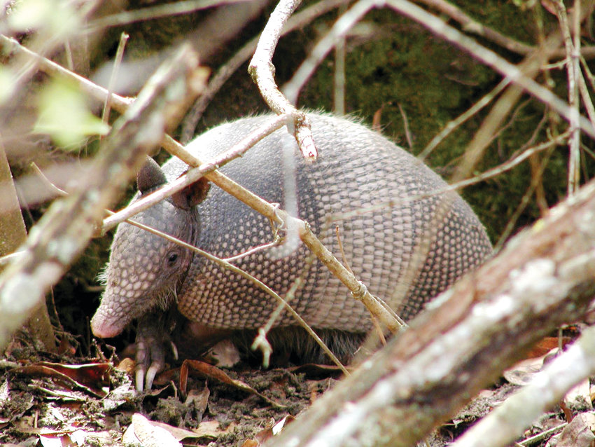 State biologists are asking for help from the public in keeping track of local armadillo sightings.