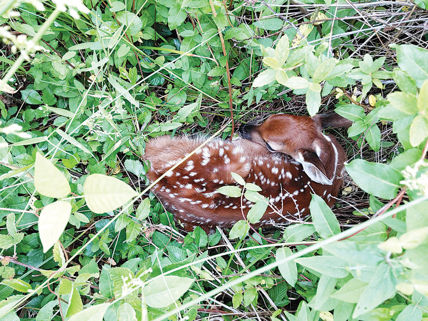 When a fawn appears abandoned, as in this photograph, it's most likely the infant's mother will return, making human interference unncecessary and potentially life-threatening for the fawn.