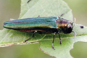 Emerald ash borers, a non-native and invasive beetle, have recently been detected in Chatham County, now the 41st of North Carolina's 100 counties to host the unwelcome insect.