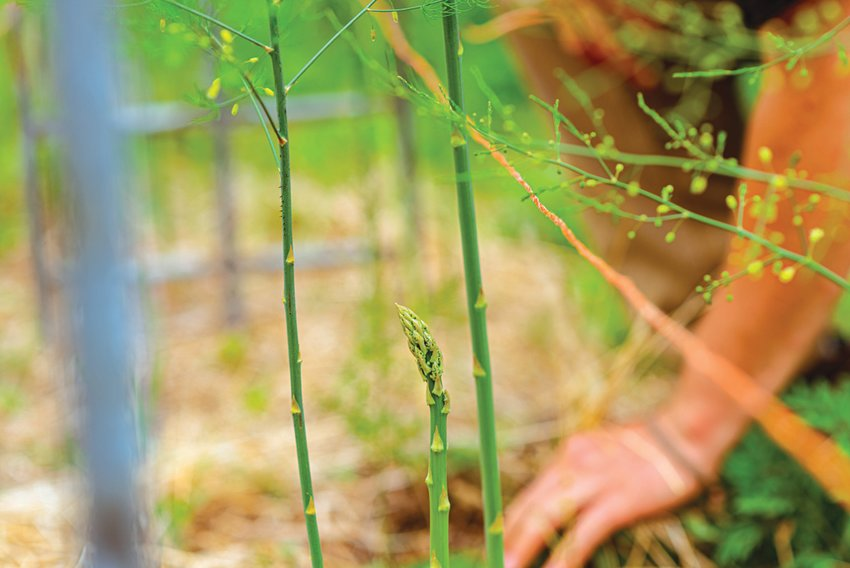 Asparagus is a long-term garden plant, often taking several years before being ready to harvest.
