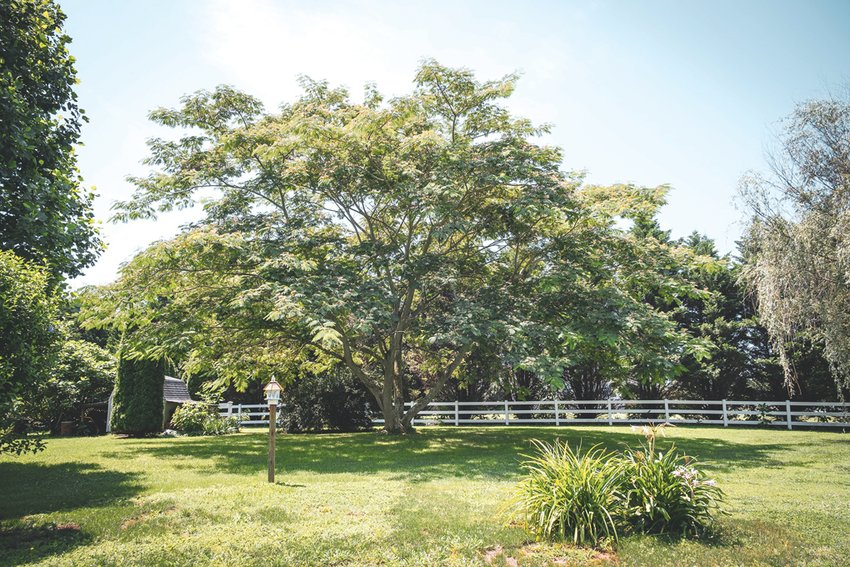 Most gardeners have a love-hate relationship with Mimosa trees.