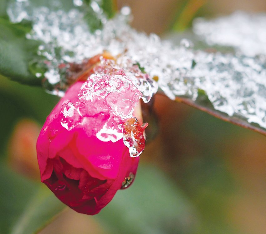 As the temperatures rose and the snow and ice began to melt, this blossom wore a sparkling crown.