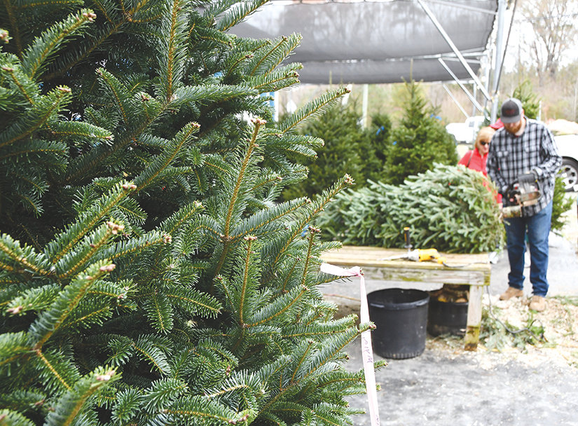 Tilden Parcell trims up a tree at B&L Supply, north of Pittsboro off of Highway 15-501. B&L has a good supply of Christmas trees on the lot but some sellers are seeing a shortage of taller trees in the 10-foot range.