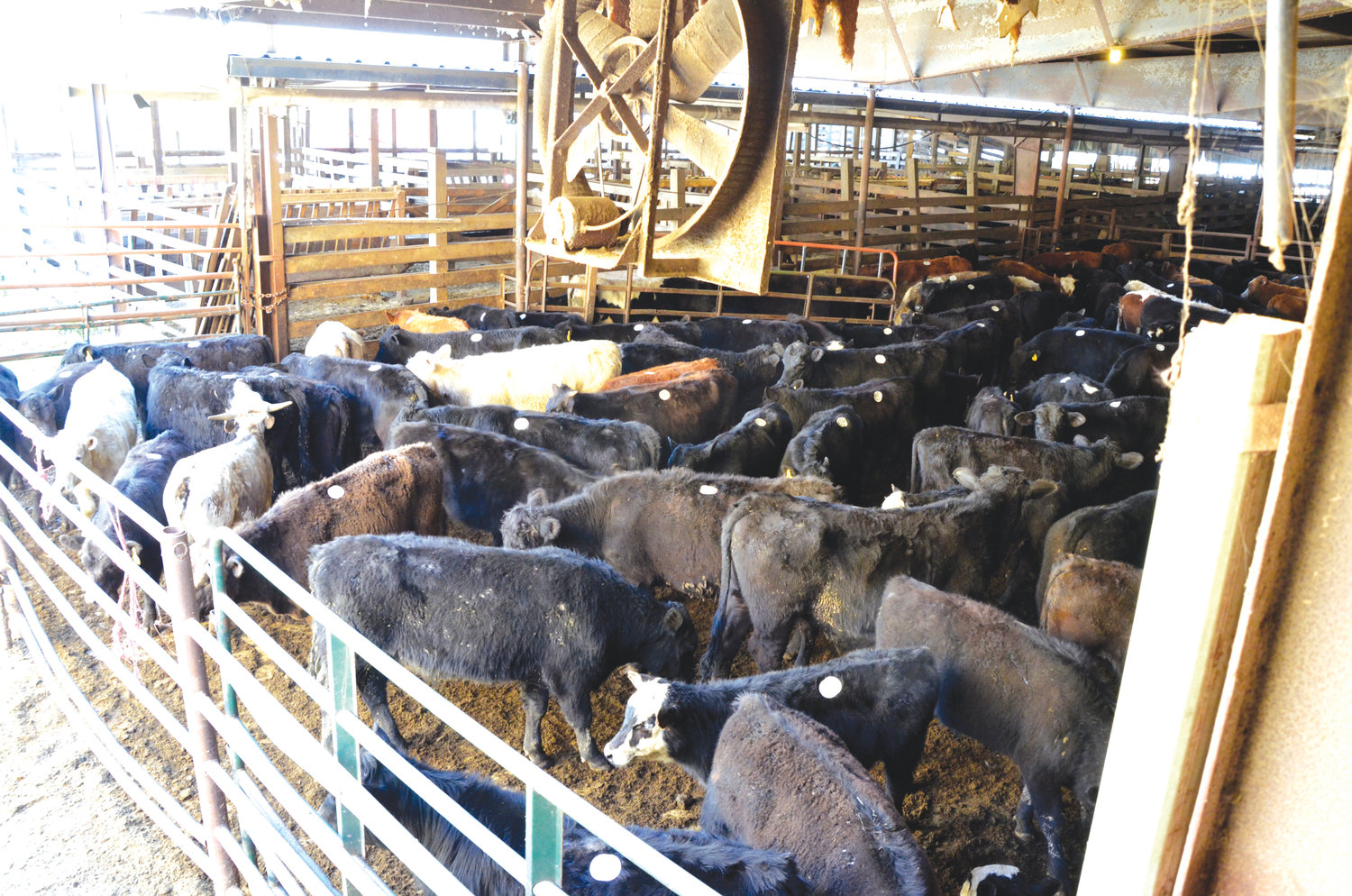 A small herd of cattle wait to go on the auction block Friday at the Carolina Stockyards. More than 1,300 head were sold there that particular day.