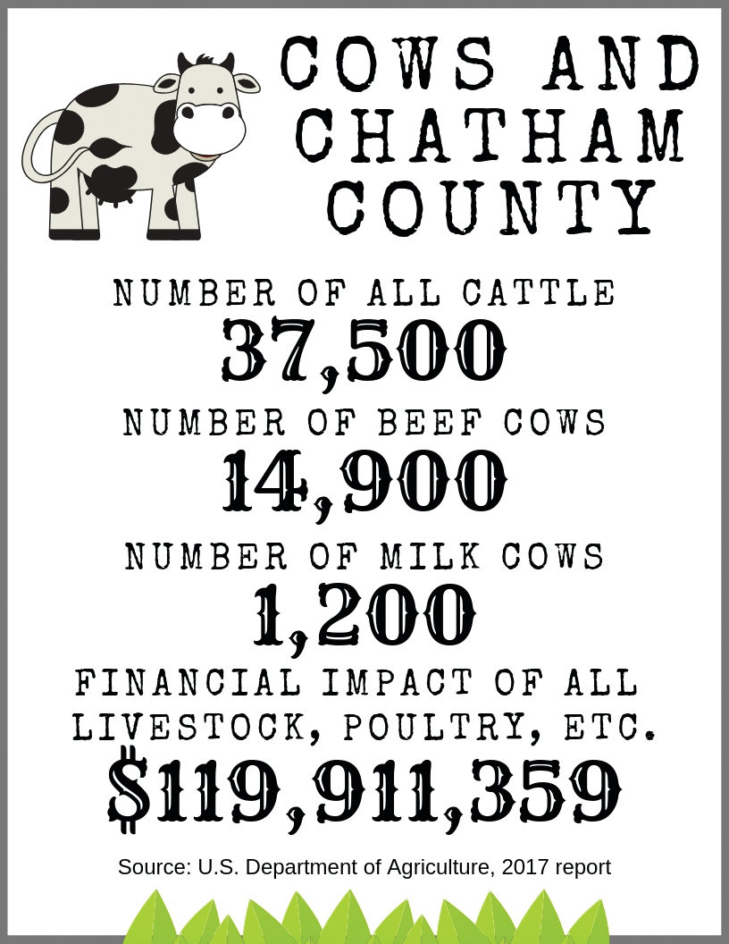 Why are there so many cows in Chatham County? | The Chatham