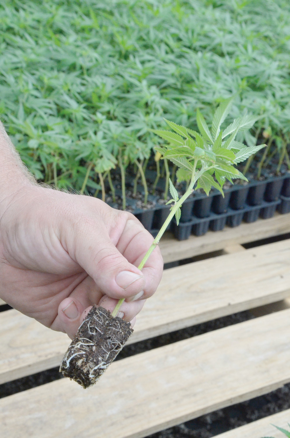 Industrial hemp clones created from plants grown at the Gary Thomas Farms greenhouses. It only takes a week or so for significant root growth to occur.