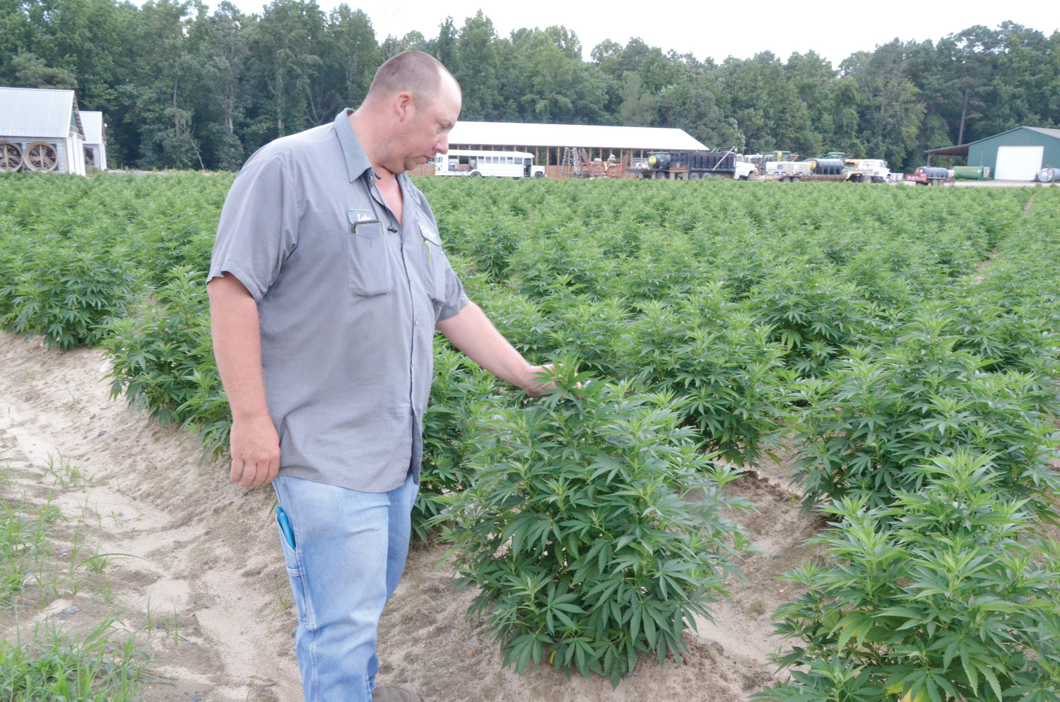 The Gary Thomas Farms have planted about 30 acres of industrial hemp in fields that used to hold produce or tobacco.