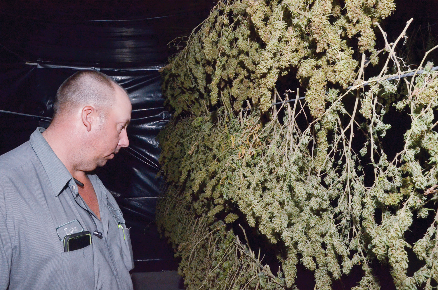 The industrial hemp flower is dried, cured, and trimmed prior to going to market. This part of the process is the most difficult to master.