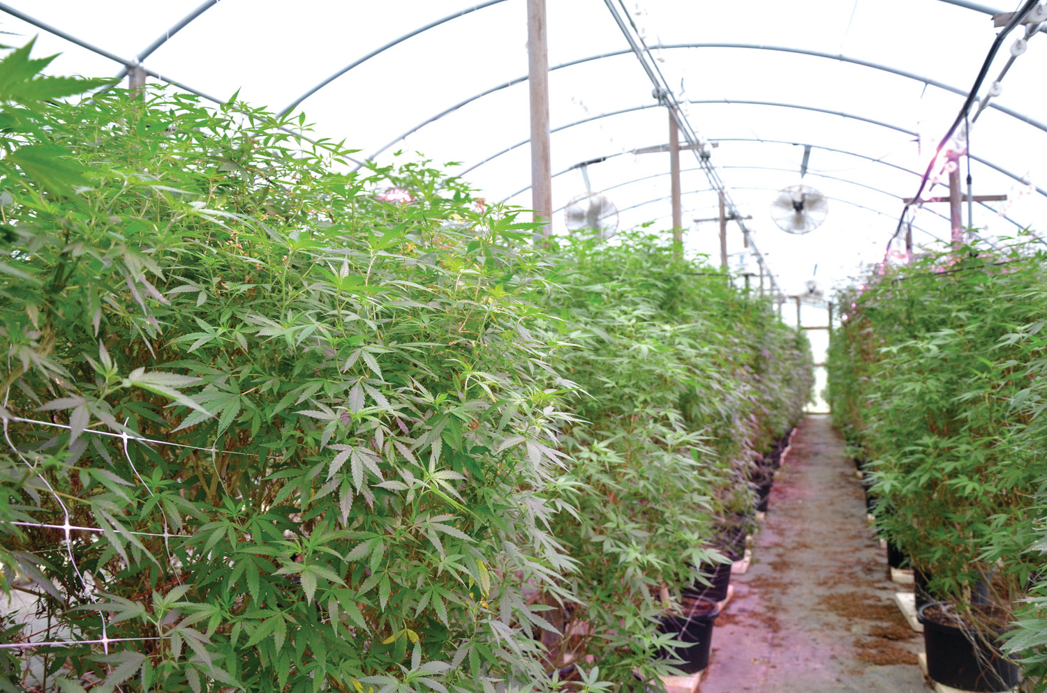 The Gary Thomas Farms now utilize seven greenhouses for hemp production. A single greenhouse can hold about 150 plants with each plant able to produce up to one pound of industial hemp flower.
