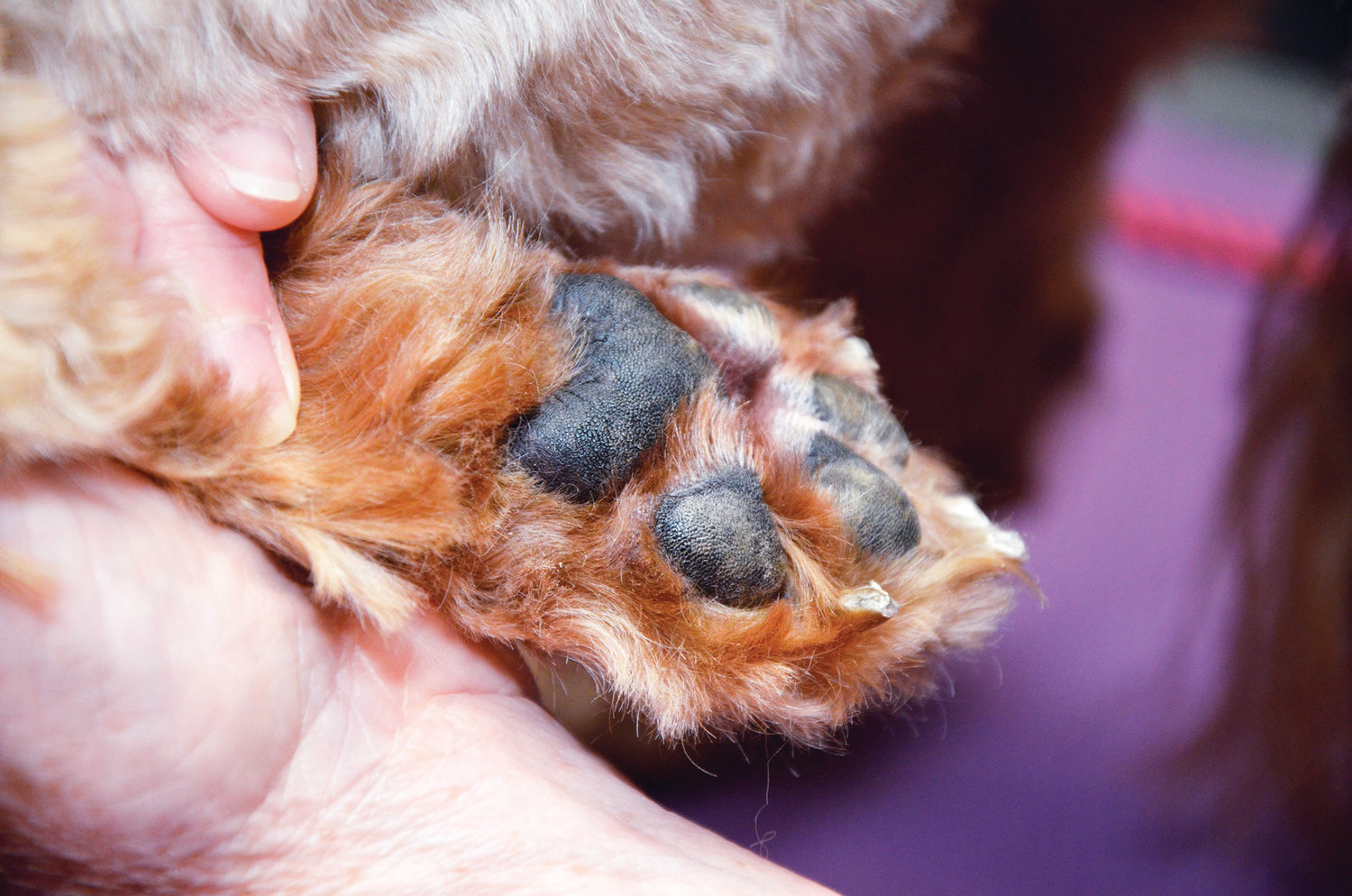 An animals paws are very sensitive to heat. If you place your hand on asphalt for five seconds and it is too hot for you, then it is too hot for your dog or cat.