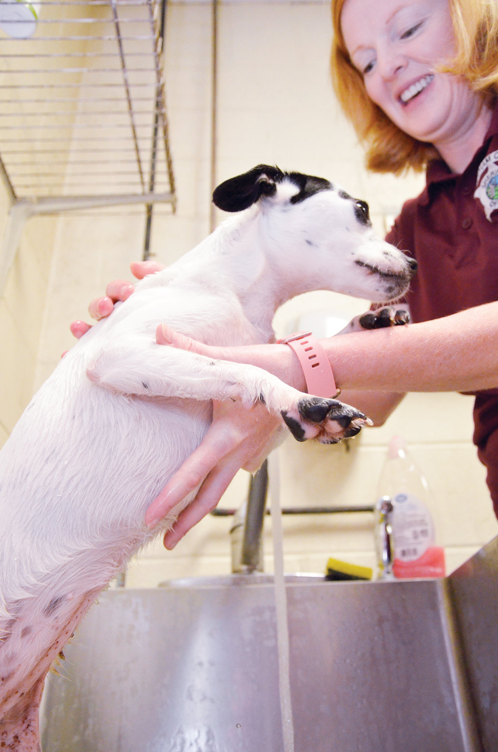Tatiana, a rat terrier mix, gets a cooling bath from Kimberly Harman at the animal shelter. Animals suffer from the heat because of their body makeup. By cooling their stomach in lukewarm water, the animal's body heat can safely be reduced.