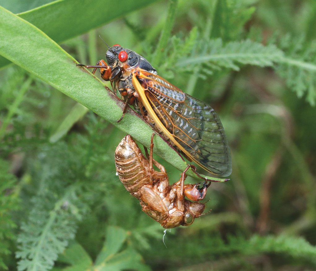 Extension agent Debbie Roos took this photo of a periodical cicada that just emerged after molting in late April in the pollinator garden at Chatham Mills in Pittsboro.