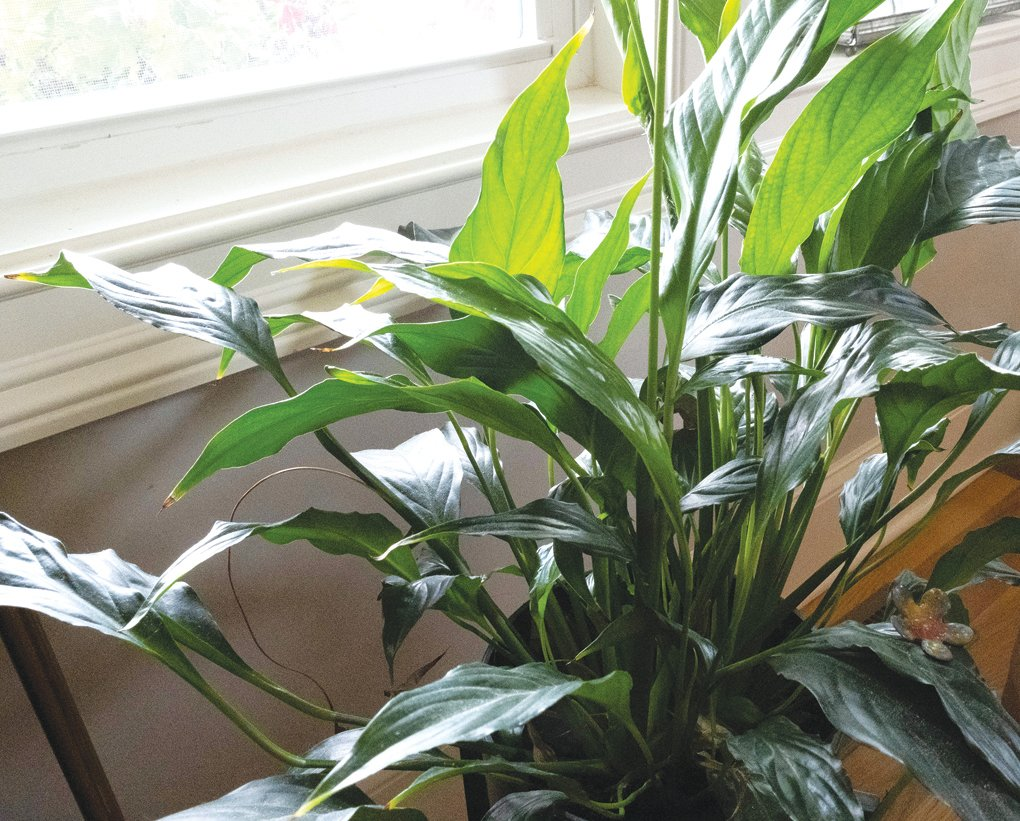 Peace lilies are one of the easiest houseplants to grow, and their preference for medium-to-low light makes them very versatile.