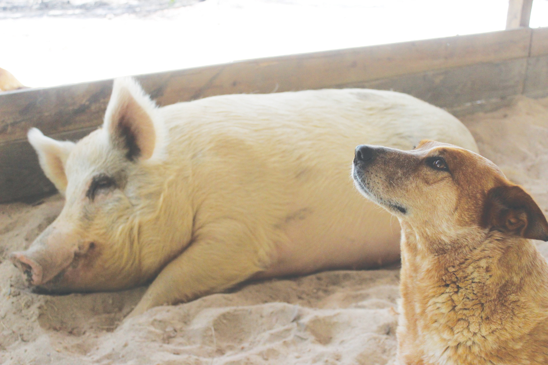 Lulu the pig and Temple the dog have been inseparable ever since Temple protected her from bullying when Lulu was just a piglet.