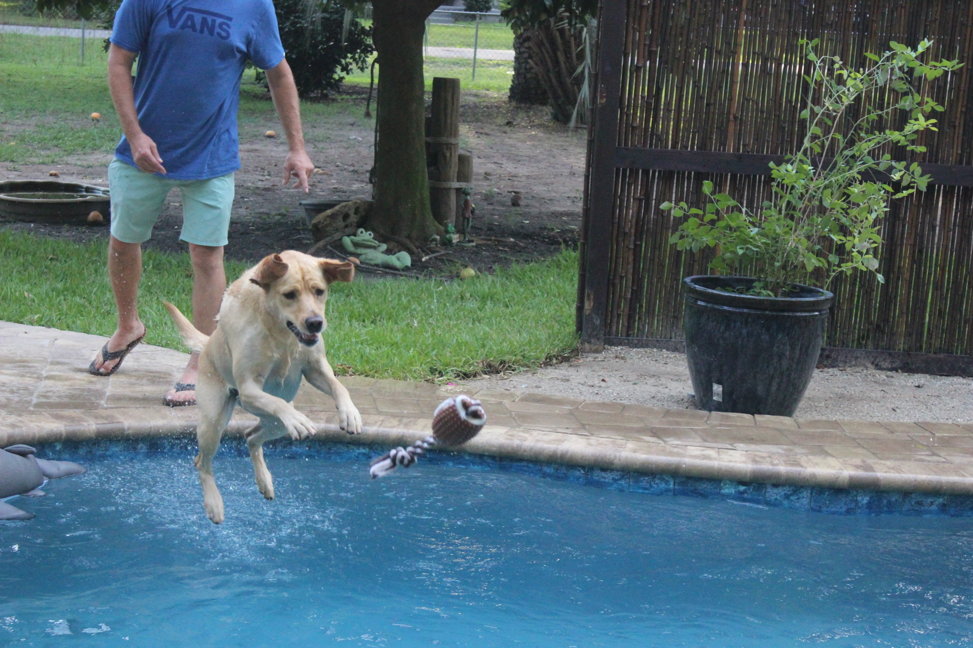 Cleo, a therapy dog, leaps after a toy thrown into Denise and Mark Umphress' pool.