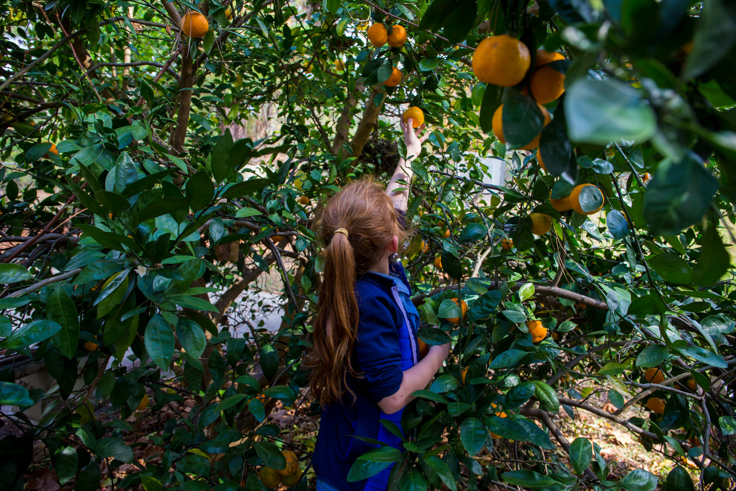 A young girl picking an orange from a tree. Photo taken 12-05-16.