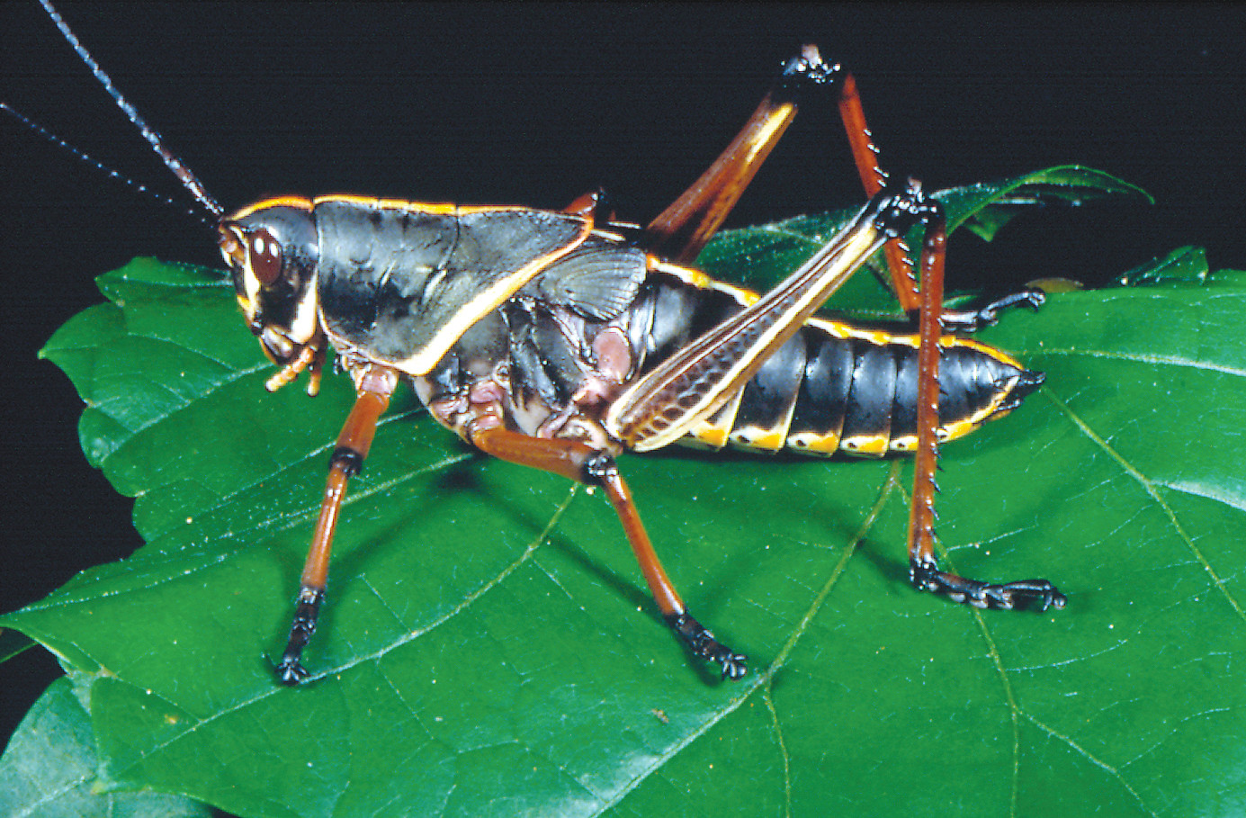 An Eastern Lubber Grasshopper.
