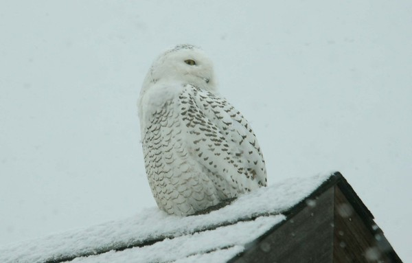 A snowy owl checks out the neighborhood from atop a Little Compton barn. GEOFF DENNIS PHOTO