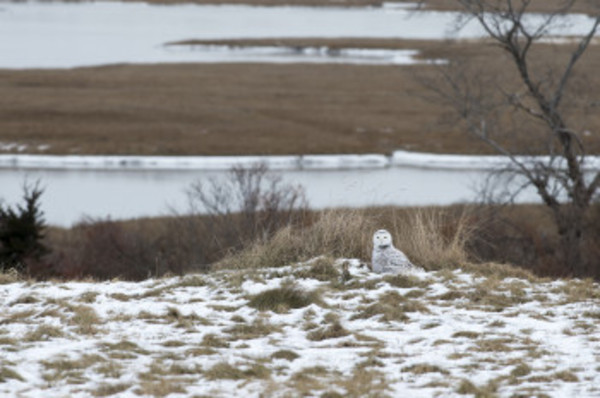 Dan Logan's photo of a vigilant snowy owl near the Westport River.