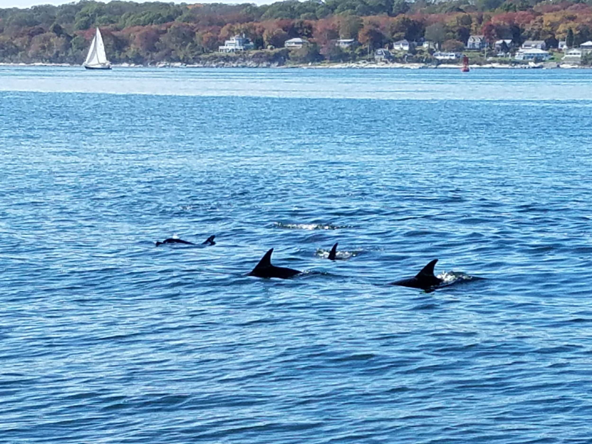 Angler Tom Poirier came across 12 to 15 dolphins Sunday in the East Passage between Prudence and Aquidneck Islands heading south toward the Newport Bridge.