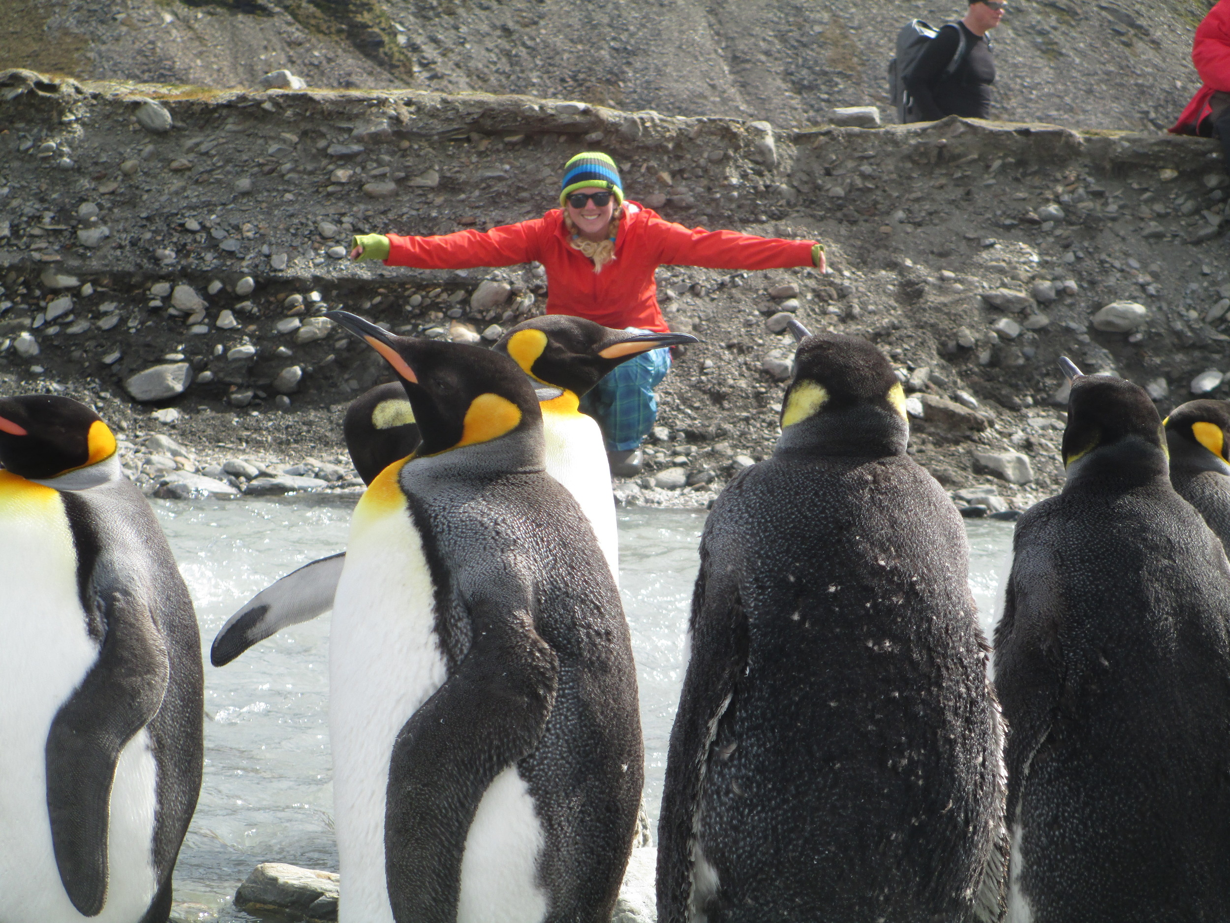 Saint Andrews Bay, which indents the north coast of South Georgia in the southern Atlantic Ocean, is a prime breeding area for king penguins, here being greeted by Breezy Grenier in 2013.