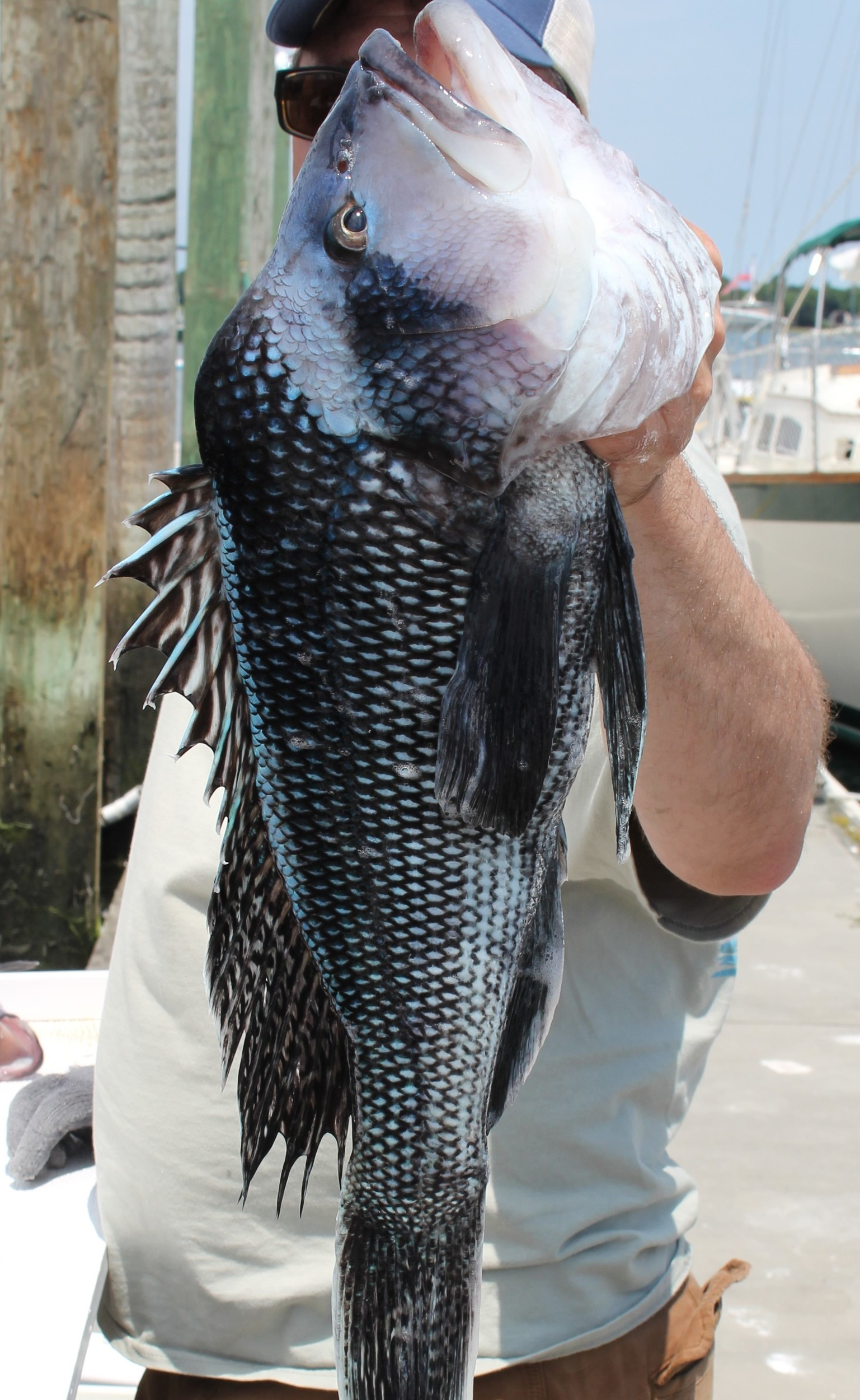 "24"" black sea bass caught off Newport last week. The largest on record in the US is 26""."