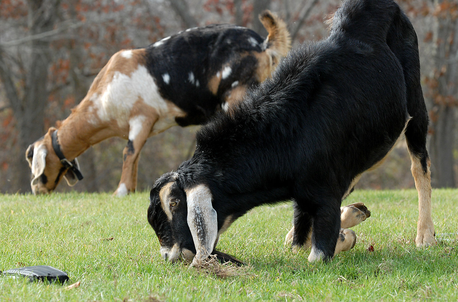 Goats munch on grass. The Farmers Alliance says farmers already get plenty of inspections; the Board of Health contends that 200 or more (Agricultural Commission estimate) Westport places where livestock are kept don't appear on any town or state list.