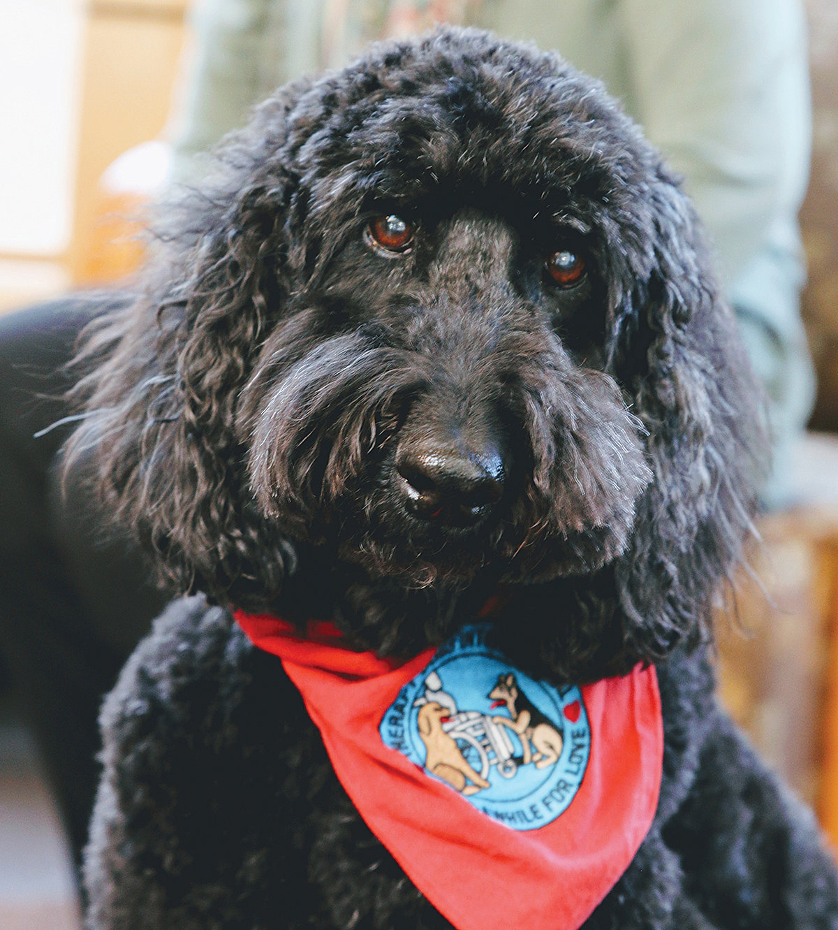 "Rosie, a labradoodle ""mutt,"" served as a therapy dog for years. She was set to attend her last ""Read to Rosie"" children's event at the Westport Library before it was canceled amidst the coronavirus crisis."