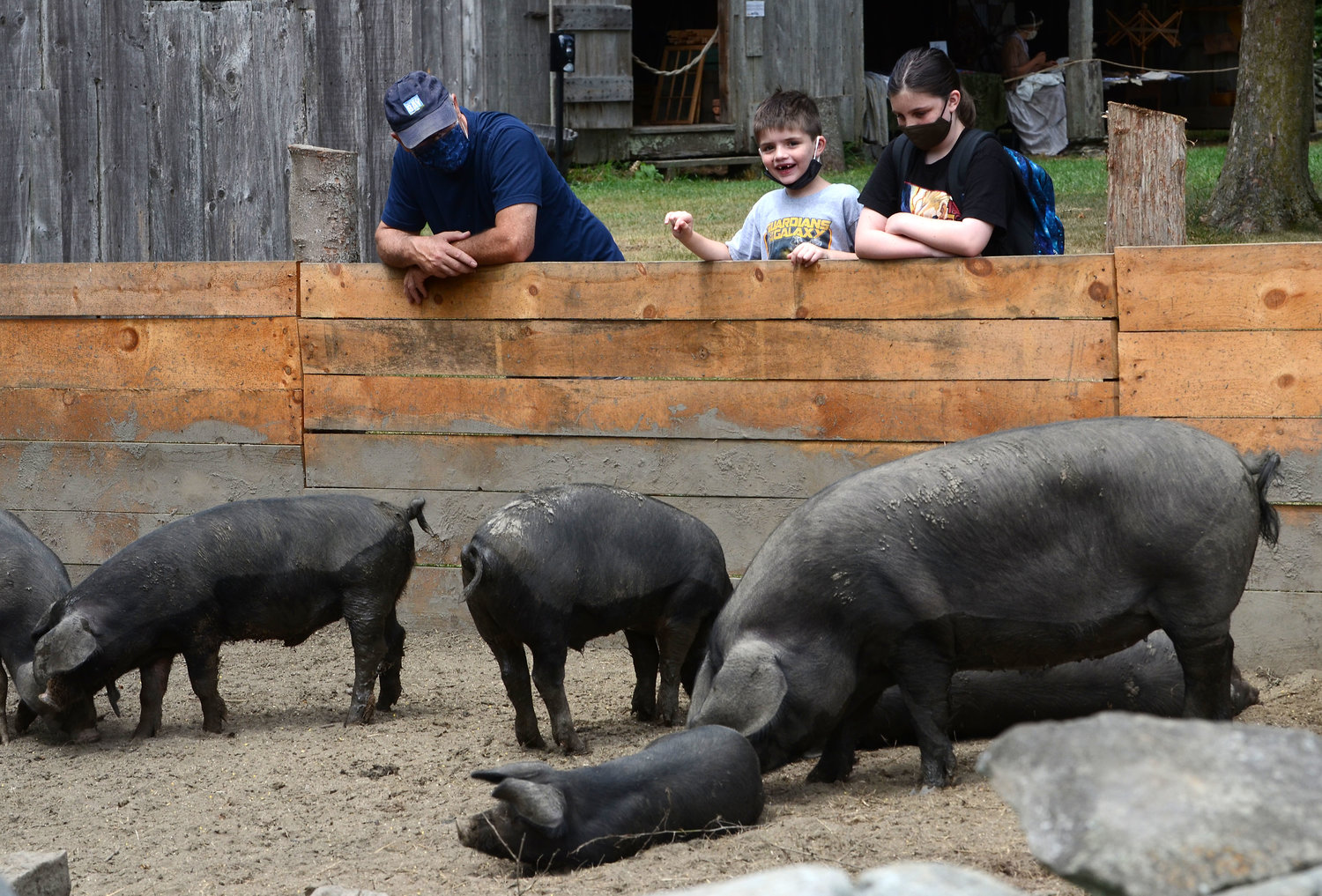 Jim Correia (left) and grandchildren, Owen Johnson, 6, and Emma Johnson, 11, watch English large black pigs bath in the mud at the farm on Friday. The pigs, from Narly Vines Farm in Tiverton, are similar to pigs that would have been in the area around 1790.