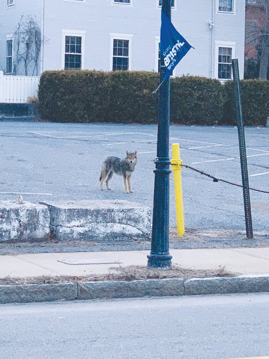 Calls to police and local Facebook posts have regularly documented the appearances of a coyote, or coyotes, in downtown Bristol in recent weeks. Caroline Cromwell took this photo on a recent weekday morning in the Thames Street parking lot across from the Prudence Ferry. After this photo was taken, the coyote hung out in Rockwell Park briefly before trotting along the waterfront. It was last spotted heading up Bradford Street.