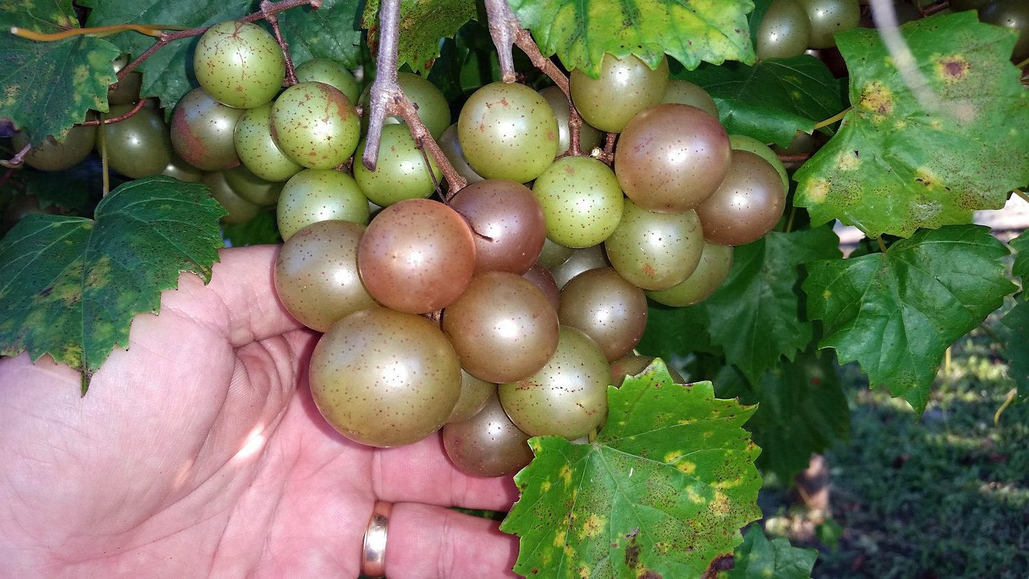 "Bronze muscadines are typically called scuppernongs and even referred to as a ""white grape"" by early explorers."