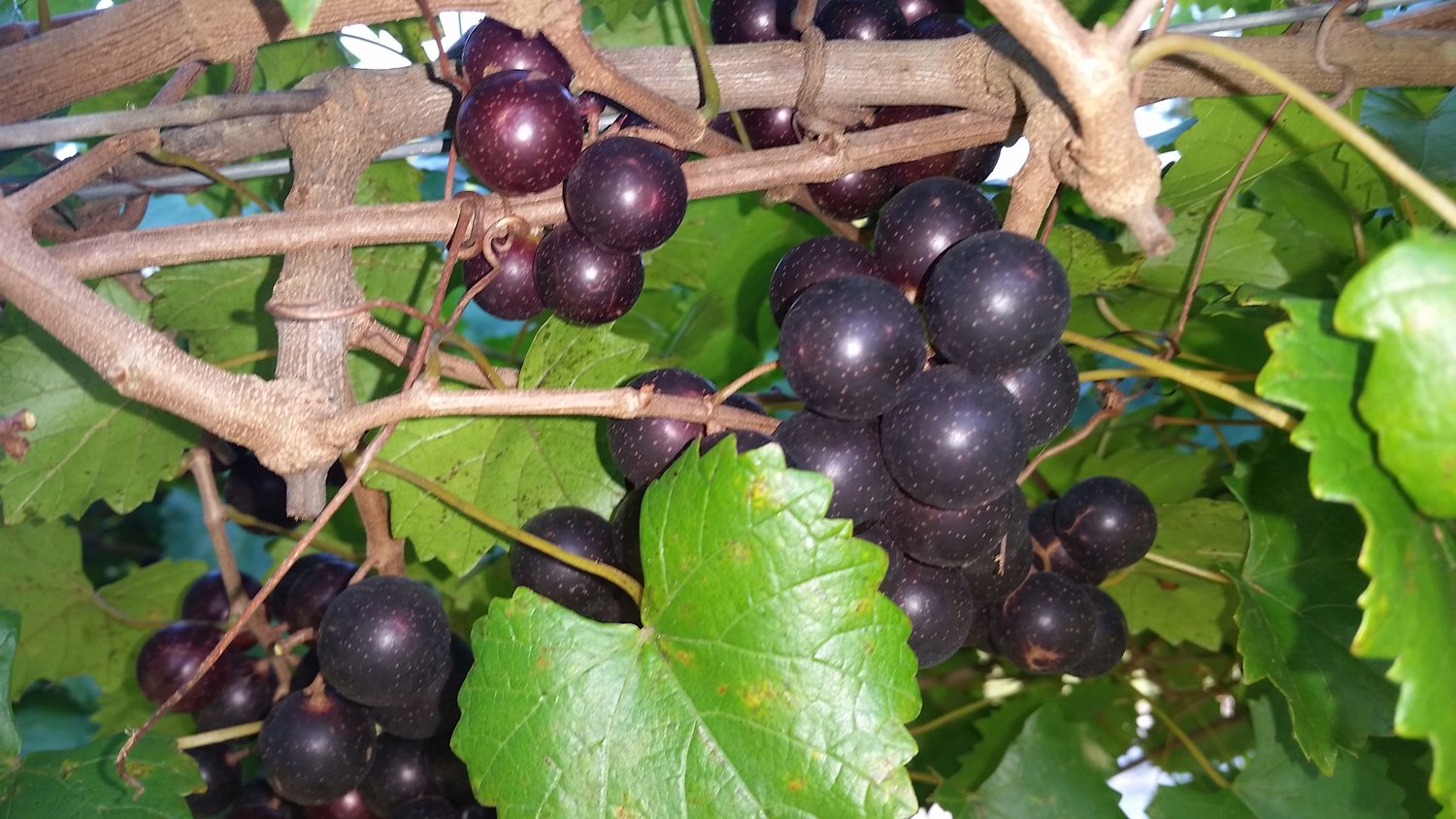 "Many muscadine varieties are dark purple or ""black"" and have thick skins not generally preferred as table fare."