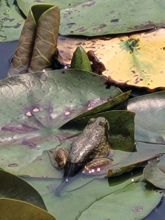 BULLY FOR YOU: An American bullfrog chills on the water's surface in the pond at Johnston's War Memorial Park.