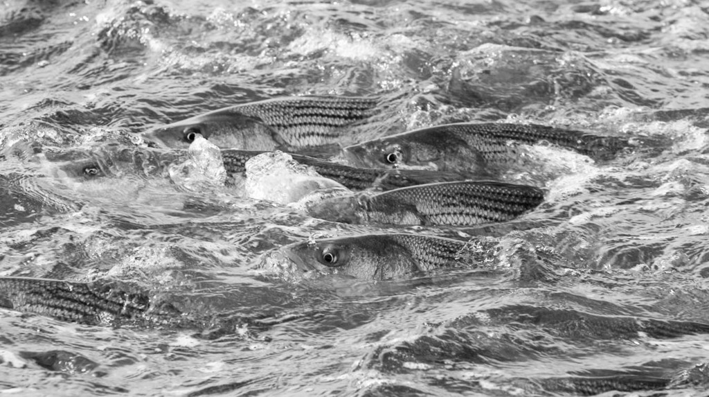 "How is this for congestion? Sport fishing photographer Jim Levison captured this photo, titled ""The Five Horsemen,"" during the fall striped bass run off Montauk, N.Y. this year. Jim's copyrighted prints make a great holiday gift for anglers and can be seen and purchased on his website at www.jimlevisonphoto.com."