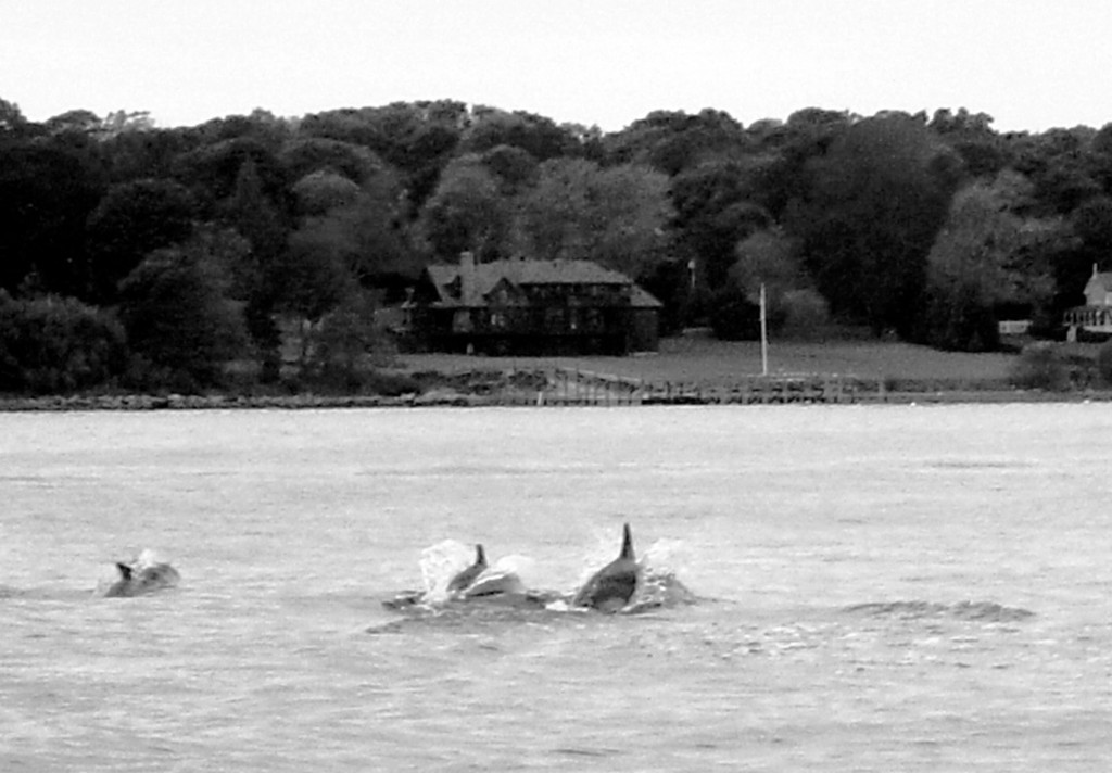 Dolphins in Narragansett Bay like these seen off Jamestown, RI in the fall two years ago were rare.  This year many dolphin sightings were reported.  Warm water has caused bait fish, tuna, striped bass and dolphins to be around in large numbers this year.