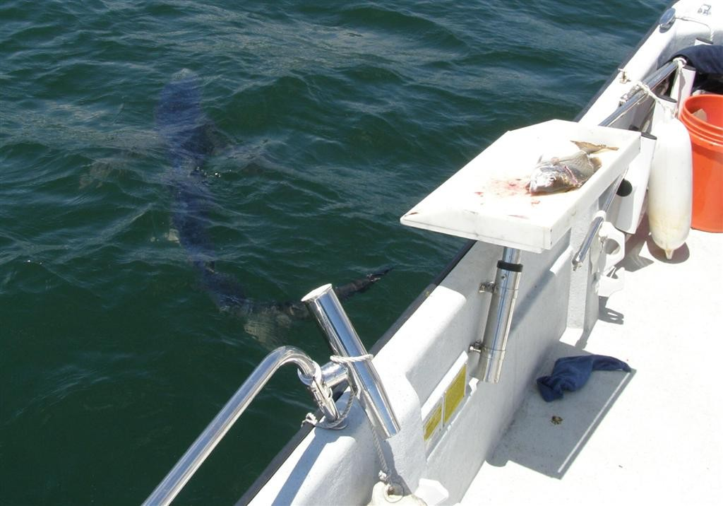 A five foot blue shark hung around Bob Chew's boat early this Monday as he cleaned scup just south of the Newport Bridge.