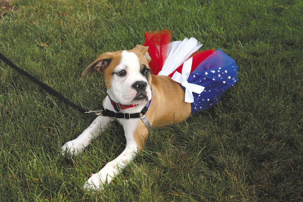 PATRIOTIC PUPPY: The holiday also marked the first for Stella, a 13-week-old Old English Bulldog belonging to the Maclivers.