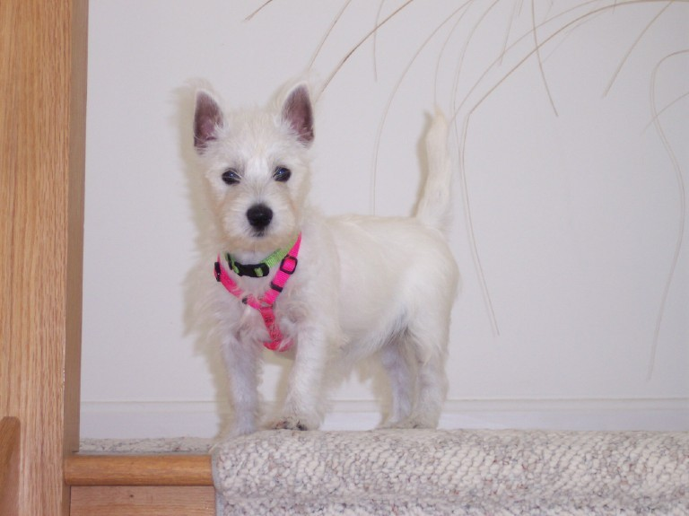 winnie the westie! pease vote for her!!