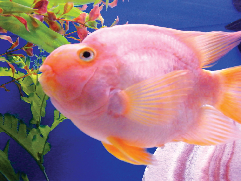 SWIMMING AROUND: A blood parrot, a man-made freshwater fish, swims slowly around its tank at Something Fishy.