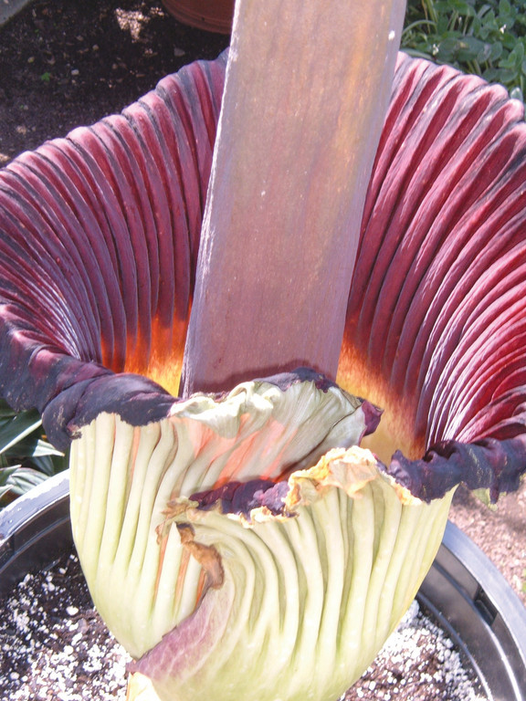 CRIMSON: The inside of the corpse flower's bloom is a deep crimson red, a trait that, like it's smell, mimics carrion to attract pollinators like beetles and flies in the wild.