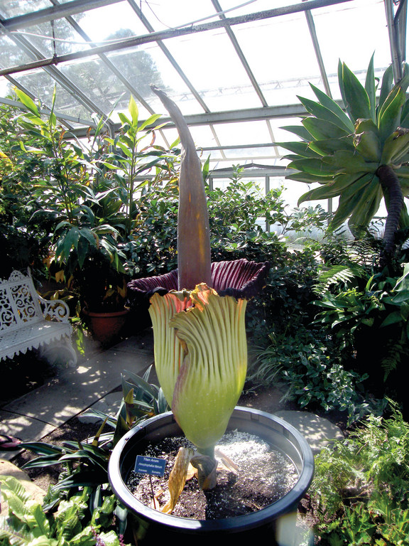 "CORPSE FLOWER: The rare and endangered Titan Arum, or ""corpse flower"" as it has been named because of its signature stench, bloomed this weekend at URI. This plant, named Audrey, stood at about 4.5 feet tall."