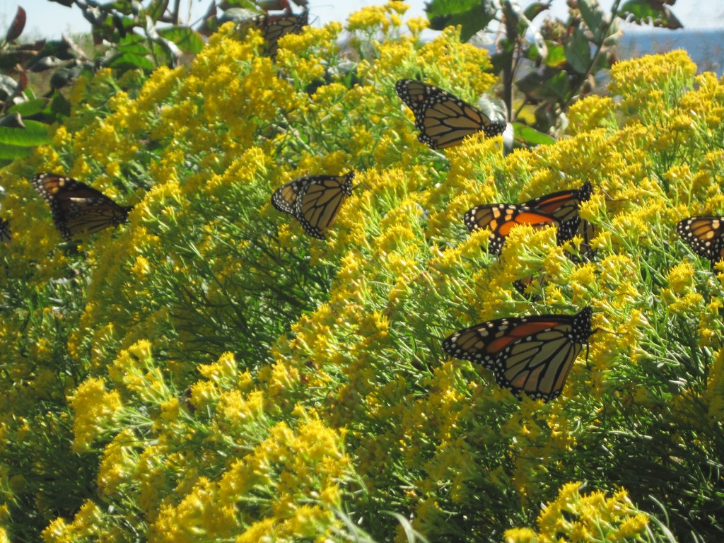 MAGNITUDES OF MONARCHS: These Monarchs seem to be basking in the sun before they make their trip to Mexico.
