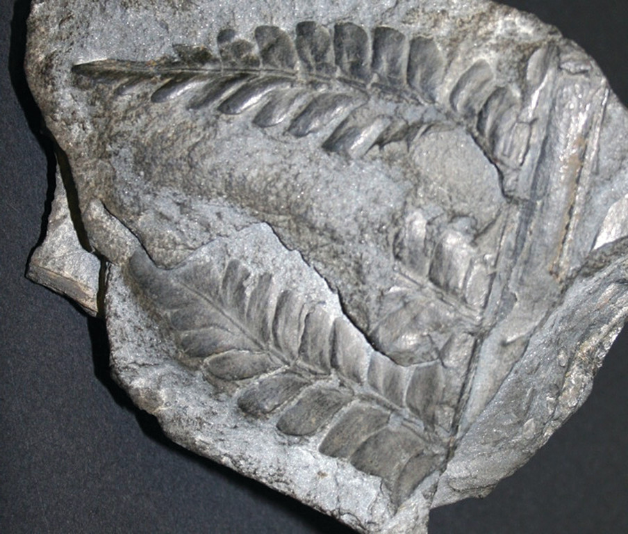 LONG-LASTING PLANTS: Annuals and perennial plants can extend their existence a lot longer if they manage to find themselves in conditions that promote being fossilized, like this Lescuropteris genuine in the Providence Museum of Natural History in Roger Williams Park. It is one of many fossils donated to the Museum near the time it was founded in 1896.