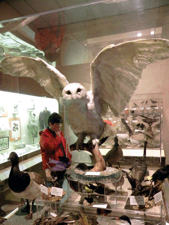 A STUFFY OLD OWL AND HIS PATIENT FRIEND: An old Snowy Owl and vulture are two of the many stuffed specimens of native and exotic birds that were donated to teh Providence Museum of Natural History when the Museum was very young. The first director of the collection was James Southwick, who was actually a taxidermist.