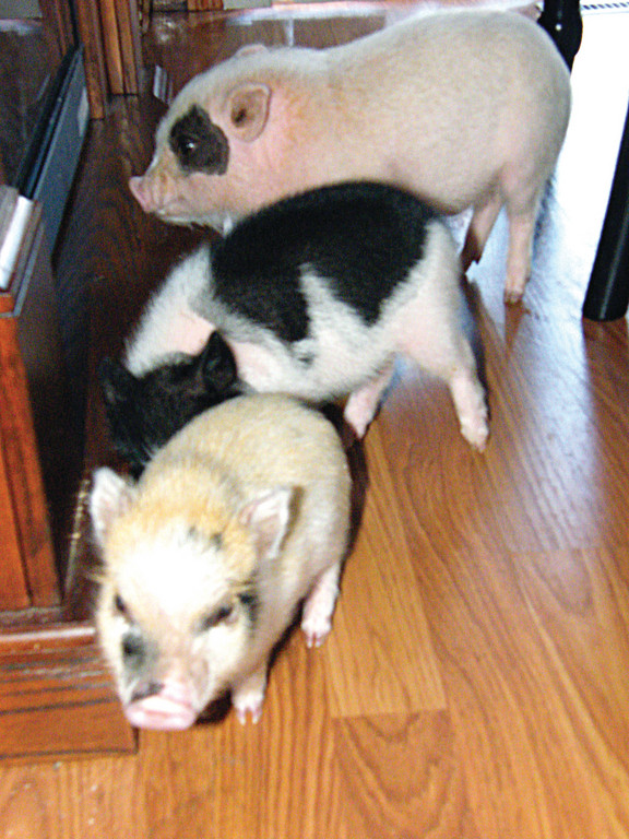 Micro pigs range in size from 15 to 35 pounds when they're full-grown. The pigs pictured here are all less than a year old, and are all under 15 pounds.