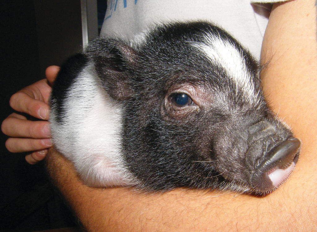 Cradled in the arms of his owner, this piggy looks ready for a snooze.