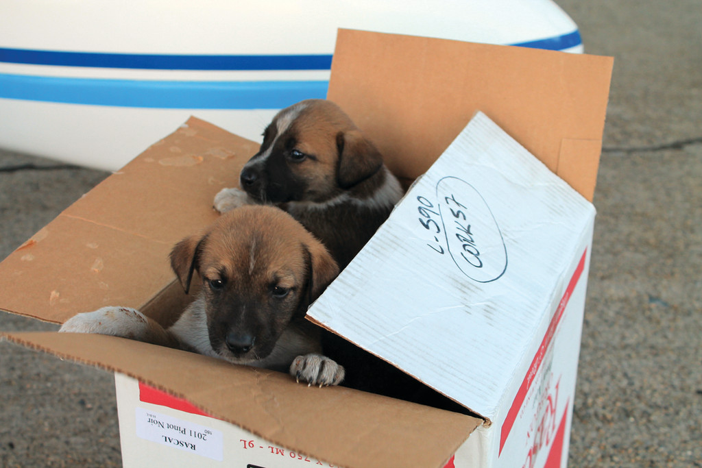 POP UP PUPPY: Two puppies peak out from a cardboard box after being unloaded from their Pilots N Paws rescue flight on Sunday.