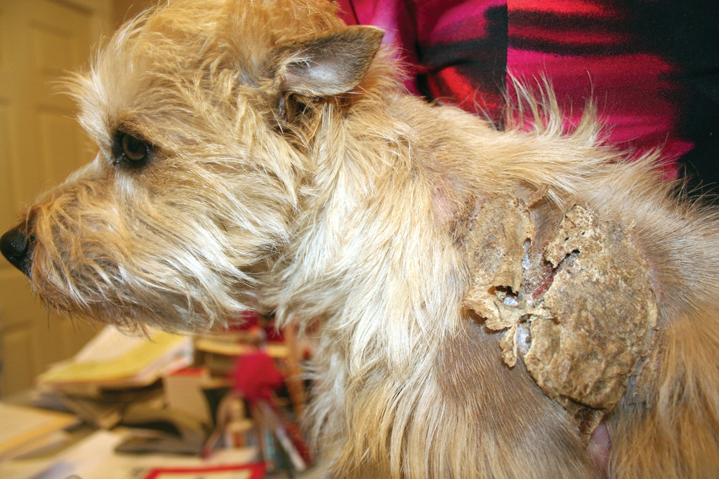 HEALING PROCESS: Lulu's back is covered in scabs, which she is protective of both from her fellow cairn terrier Zach and her owner, who must apply lotion whenever Lulu will allow it.