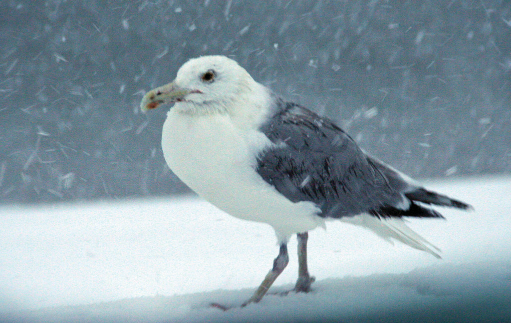 SHIVERING SEAGULL:  Even in the snow, this gull begs for a handout.